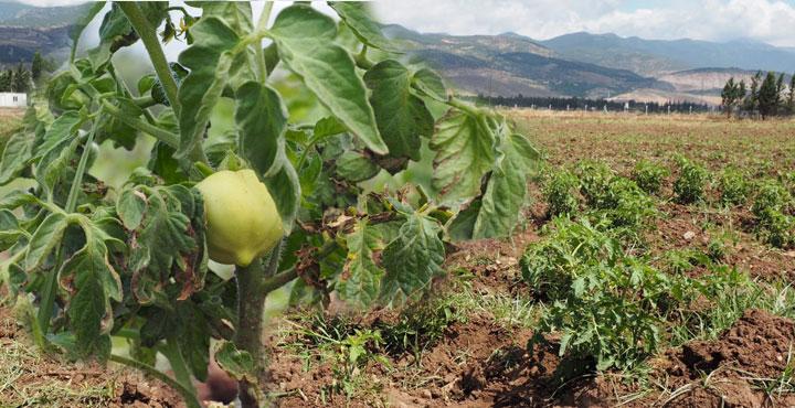 Üretilen Sebzeler İhtiyaç Sahiplerine Ücretsiz Dağıtılacak