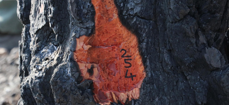 Hatay'Da Yanan Ağaçlarda Damgalama Çalışması Başladı