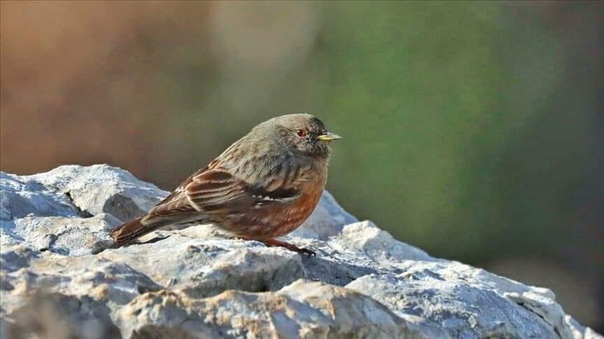 """Hatay'Da, Bilimsel Adı """"Prunella Collaris"""" Olan Büyük Dağ Bülbülü Kuşu Görüntülendi."""